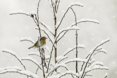 1. Robin in snow