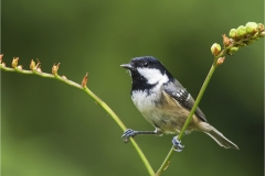 Coal Tit by Walter Turnbull