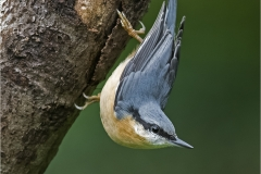 Nuthatch by Walter Turnbill