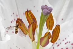 Lily and hoverfly by Walter Turnbull