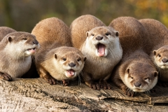 1. A bevy of Otters