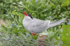 Tern singing on wire