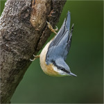 NuthatchPhoto by Walter Turnbull