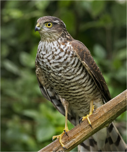 Sparrowhawk Photo by Walter Turnbull